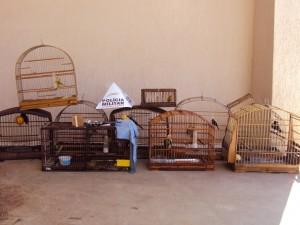 Pássaros Silvestres são apreendidos em Pouso Alegre. Foto: PM / Divulgação
