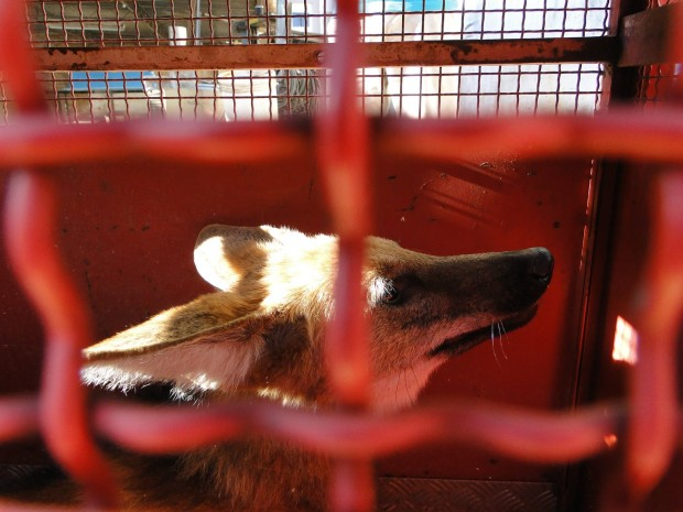 Lobo preso na jaula. Anima corre risco de extinção. Foto: Eduardo de Souza