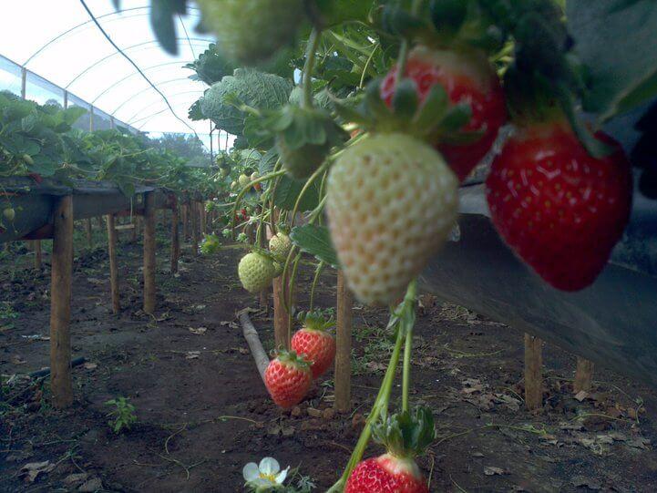 O sistema de morangos suspensos protege a planta. Foto: Agência Minas