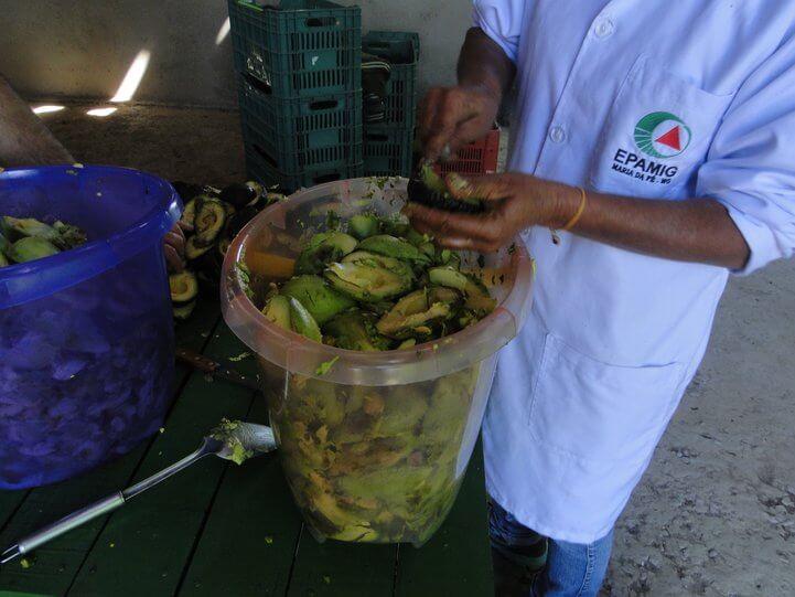 Um hectare de abacate pode produzir 40 toneladas de frutos e rende cerca de 6 mil litros de óleo. Foto: Adelson Vieira