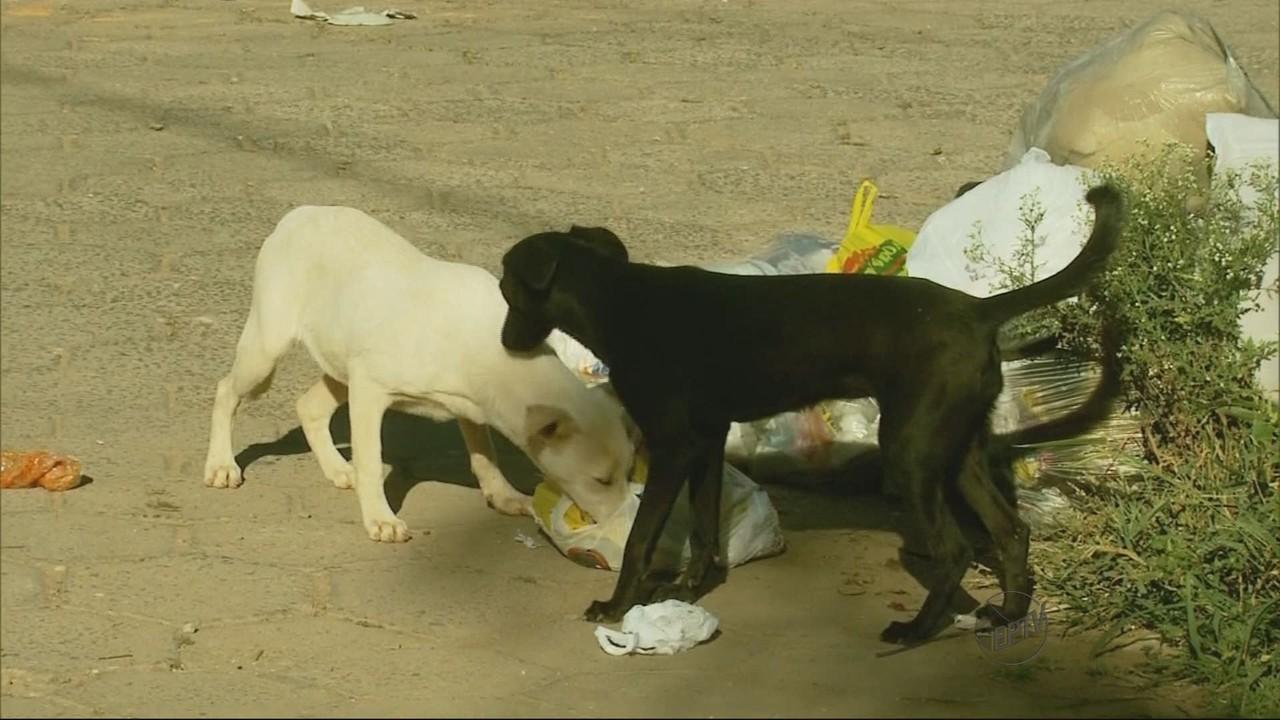 Cachorros mexendo no lixo em Pouso Alegre